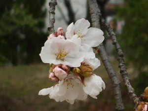 Katano's Official Tree; Cherry Blossom