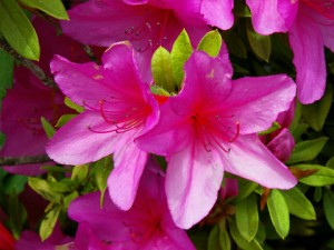 Katano's Official Flower; Azalea